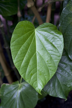 piper: Kava leaf on a plant Stock Photo