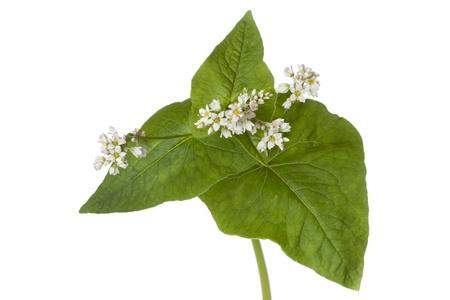 Flowering buckwheat on white background photo