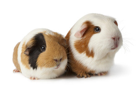 Pair of cute guinea pigs on white background