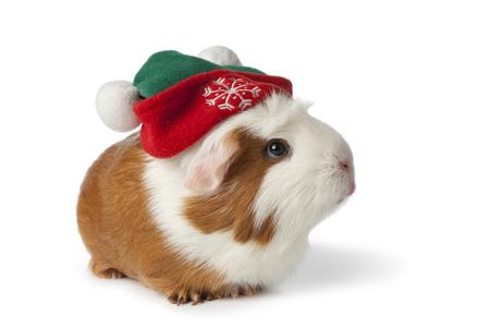 cappello natale: Carino cavia con cappello di Natale su sfondo bianco