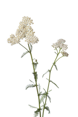 White flowering yarrow  photo