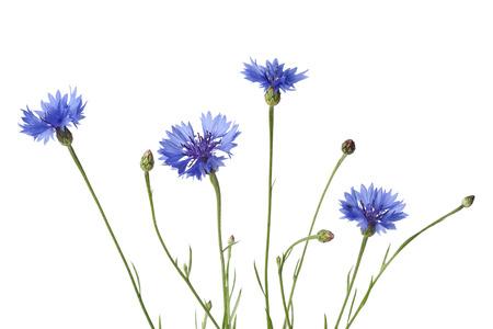 centaurea: Cornflowers on white background Stock Photo