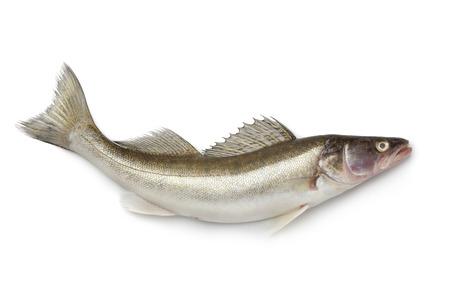 zander: Fresh Zander fish on white background
