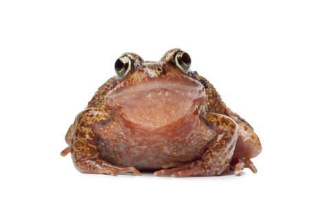 anura: Single brown frog en face on white background Stock Photo