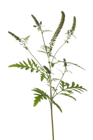 ambrosia: Common Ragweed plant on white background Stock Photo