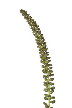 ambrosia: Ambrosia da vicino su sfondo bianco