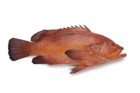 hind: Coral Hind fish on white background