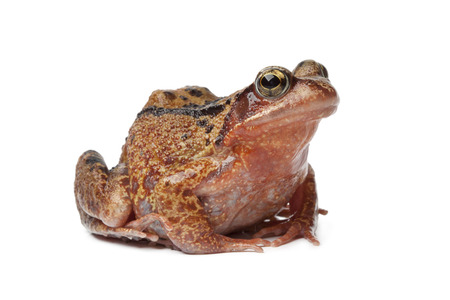 anura: Single brown frog on white background