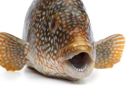 epinephelus: Close up of a grouper fish on white background