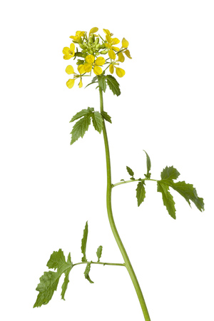 mustard plant: White mustard plant on white background Stock Photo