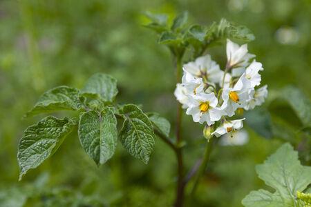 tuberosum: White flowering Solanum tuberosum, potato