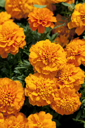tagetes: Fresh orange tagetes full frame