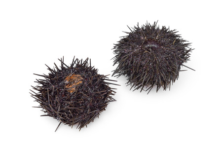 urchin: Two fresh raw sea urchins on white background