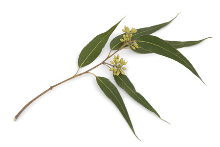 Eucalyptus branch and leaves on white background Banque d'images