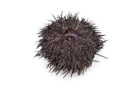 urchin: Fresh raw sea urchin on white background