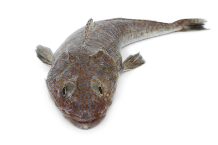 dusky: Australian fresh raw flathead fish on white background