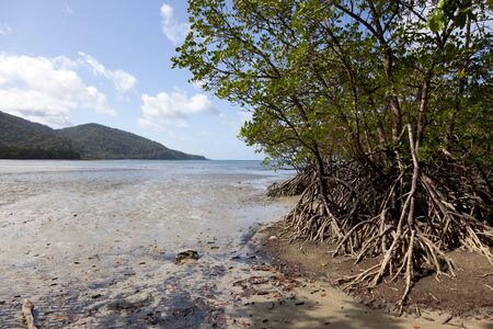 tribulation: Mangrove trees on the beach of Cape Tribulation, Queensland,Australia