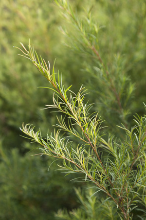 Sprig of a Tea tree plant
