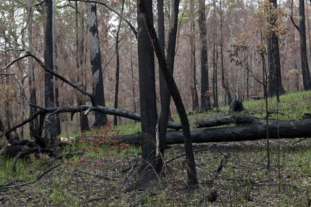 australasia: Eucalyptus forest in New South Wales, Australia regenerating after a fire