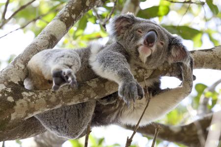 herbivorous animals: Koala relaxing in a tree, Queensland, Australia Stock Photo