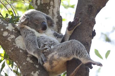 Koala relaxing in a tree, Queensland, Australia Standard-Bild