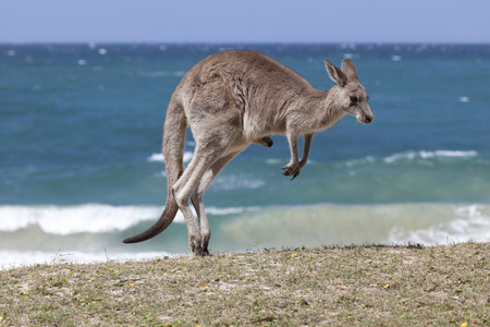 Jumping Red Kangaroo on the beach, Depot Beach,New South Wales, Australia Фото со стока - 35841506