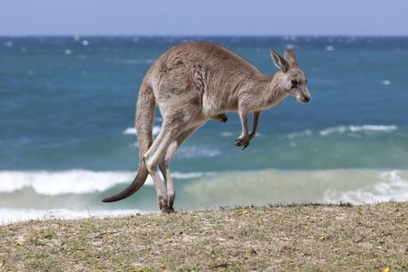 Springen Rode Kangoeroe op het strand, Depot Beach, New South Wales, Australië Stockfoto