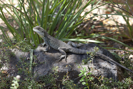 australia jungle: Eastern Water Dragon, Queensland, Australia