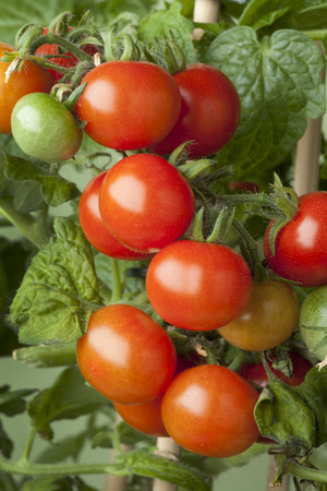cherry varieties: Fresh ripe cherry tomatoes on a plant Stock Photo