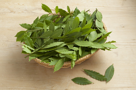 nobilis: Basket with fresh picked green bay leaves Stock Photo