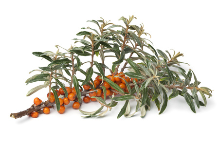 seabuckthorn: Twig of common sea-buckthorn with orange berries on white background