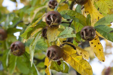 seasonable: Fresh medlars on a tree in autumn close up Stock Photo