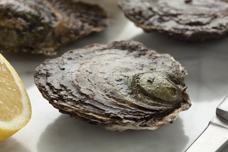 edulis: Fresh European flat oyster close up Stock Photo