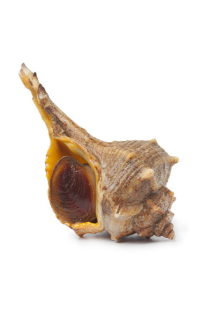 murex shell: Single fresh raw Italian spiny dye-murex