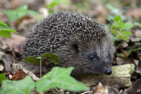 hedge: Hedge hog in the woods Stock Photo