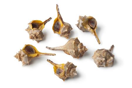 murex shell: Fresh raw Italian spiny dye-murex
