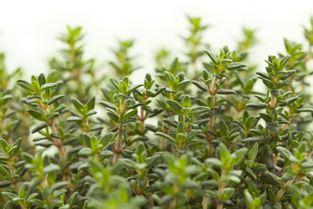 Fresh green thyme plant leaves close up