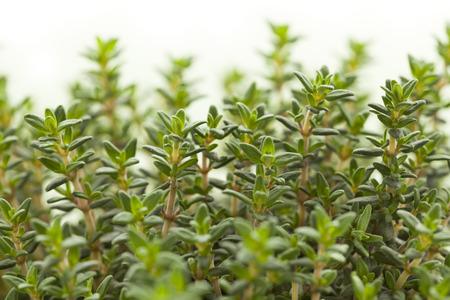Verse groene tijm bladeren van de planten close up