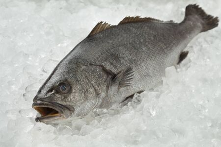 meagre: Fresh raw corvina fish on ice Stock Photo