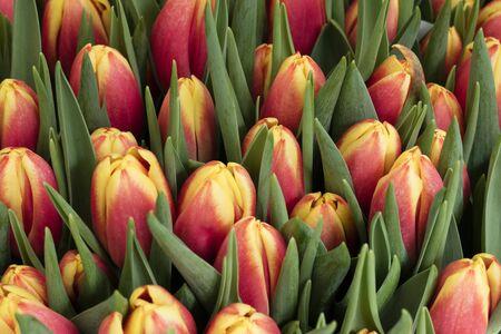 dutch: Fresh dutch tulips full frame