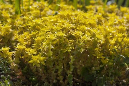 acre: Yellow flowering Sedum acre in springtime