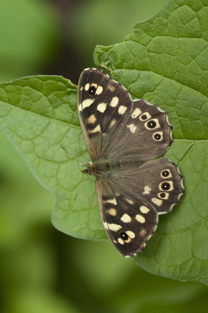 speckled wood: Speckled wood butterfly close up