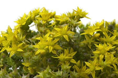 acre: Yellow flowering Sedum acre in springtime close up Stock Photo