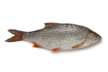 rutilus rutilus: Single fresh raw common roach on white background