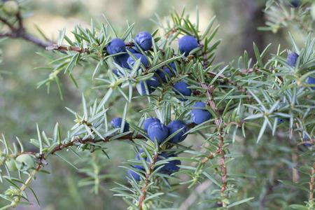 enebro: Twig of common juniper with blue berries