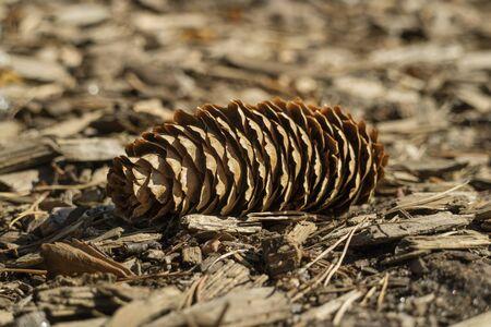 conifer: Fallen single conifer cone in the wood Stock Photo