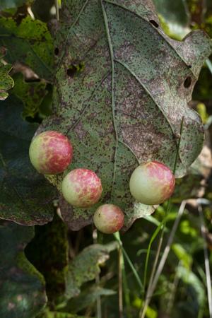 gall: Oak Apple Gall on a leaf Stock Photo