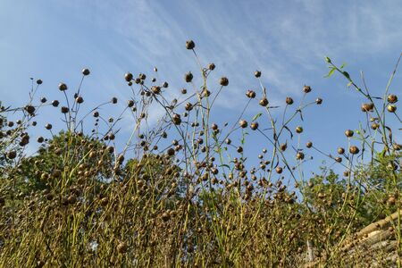 flaxseed: Field with flaxseed in autumn