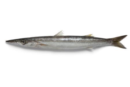 single animal: Single barracuda fish on white background Stock Photo