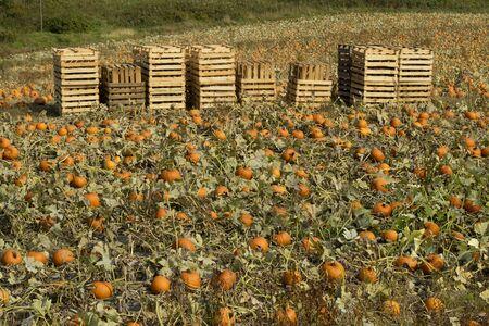 crop harvest: Field with orange pumpkins